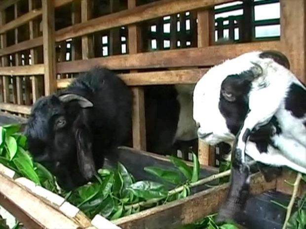 gambar kambing etawa